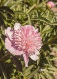 ` Floreciente de Coral Pink del ` del Paeonia Imagenes de archivo