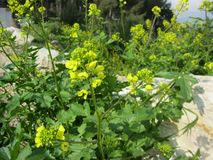 Florecimiento amarillo en el Galilea imágenes de archivo libres de regalías