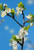 Florecimiento de la cereza en un jardín en un cielo azul del fondo fotos de archivo