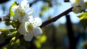 Florecimiento de la cereza de las flores Flor blanca Sakura Florecimiento del árbol almacen de metraje de vídeo