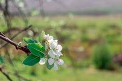 Florecimiento de la cereza salvaje Foto de archivo libre de regalías