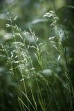 Florecimiento de la hierba de la tarde Imágenes de archivo libres de regalías