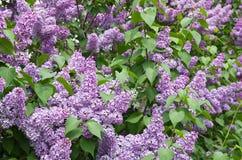 Florecimiento de la lila foto de archivo