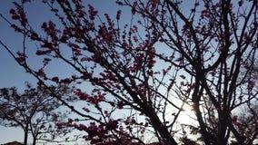 Florecimiento de la lila rosada metrajes