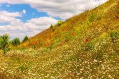 Florecimiento de la manzanilla y de amapolas en el salvaje Fotografía de archivo