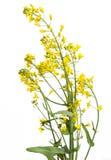Florecimiento de la planta de la rabina foto de archivo