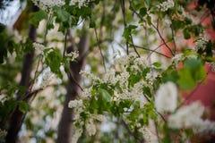 Florecimiento de la primavera Fotos de archivo libres de regalías