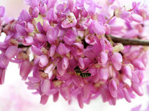 Florecimiento de la primavera del árbol de Judas Fotografía de archivo libre de regalías