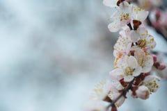 Florecimiento de la primavera del árbol fotografía de archivo libre de regalías