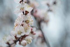 Florecimiento de la primavera del ?rbol imagen de archivo