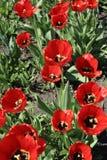 Florecimiento de tulipanes rojos imagenes de archivo