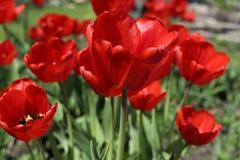Florecimiento de tulipanes rojos fotos de archivo
