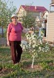 Florecimiento de un manzana-árbol enano Fotografía de archivo libre de regalías
