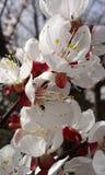 Florecimiento del árbol Fotos de archivo libres de regalías