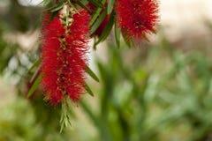 Florecimiento del árbol del Bottlebrush Imagen de archivo