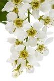 Florecimiento del cerezo del pájaro, aislado en el fondo blanco Foto de archivo