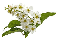 Florecimiento del cerezo del pájaro, aislado en el fondo blanco Imagen de archivo libre de regalías