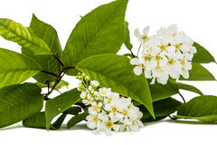 Florecimiento del cerezo del pájaro, en el fondo blanco Imagen de archivo libre de regalías
