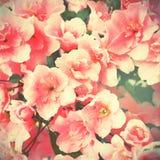 Florecimiento del ciruelo-árbol Fotografía de archivo libre de regalías