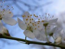 Florecimiento del manzano Fotografía de archivo libre de regalías
