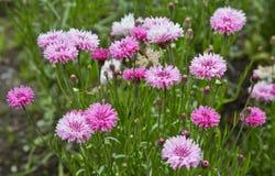 Florecimiento del verano Imagen de archivo libre de regalías