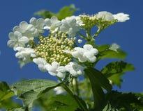 Florecimiento del viburnum Belleza asombrosa de inflorescencias blandas Foto de archivo