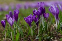 Florecimiento enorme de azafranes púrpuras en los bosques de Transcarpath Imagenes de archivo