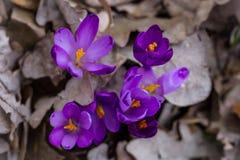 Florecimiento enorme de azafranes púrpuras en los bosques de Transcarpath Foto de archivo