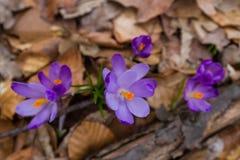 Florecimiento enorme de azafranes púrpuras en los bosques de Transcarpath Imagen de archivo