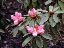 Florecimiento pálido - rododendro rosado imagen de archivo