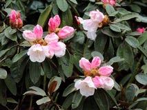 Florecimiento pálido - rododendro rosado imagenes de archivo