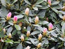 Florecimiento pálido - rododendro rosado fotos de archivo libres de regalías
