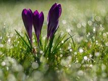 Florecimiento púrpura del azafrán imagen de archivo