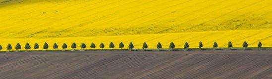 Florecimiento salvaje de la rabina en un campo de granja en Polonia imagenes de archivo