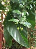Florecimiento tropical de las flores Imagenes de archivo