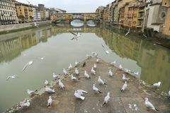 Florence city with seagulls and the famous old bridge , Italy Stock Photo