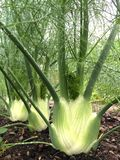 Florence Fennel stock afbeelding