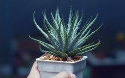 Florenceae do aloés em minha mão no jardim Foto de Stock Royalty Free