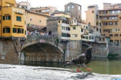Florencja gołąb Zdjęcia Stock