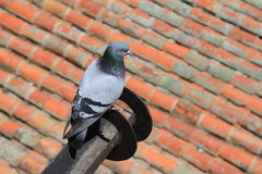 Florencja, Włochy gołąb na dachowej płytce Obrazy Royalty Free