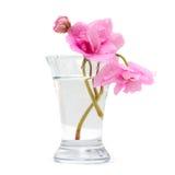 Florero con la flor rosada del resorte aislada foto de archivo libre de regalías
