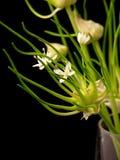 Florero del vidrio de la floración de la cebolla Fotos de archivo