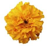 Floresça, amarele, com orvalho, o fundo isolado branco com trajeto de grampeamento Nenhumas sombras Fotos de Stock Royalty Free