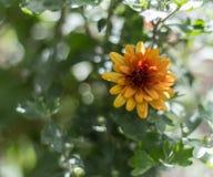Floresça apenas entre as folhas verdes do jardim foto de stock royalty free