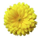 Floresça, calendula que as flores amarelam, com orvalho, o fundo isolado branco com trajeto de grampeamento Fotos de Stock