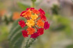 Floresça com as folhas do amarelo, as alaranjadas e do vermelho no fundo verde foto de stock