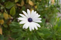 floresça com as pétalas da cor branca e o fundo das folhas do verde e do marrom imagem de stock