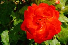 Floresça com uma cor vívida vermelha - close-up imagens de stock