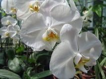 Floresça cor branca da flor do Orchidaceae ou da orquídea e cor-de-rosa violeta roxa Fotografia de Stock