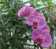 Floresça cor branca da flor do Orchidaceae ou da orquídea e cor-de-rosa violeta roxa Foto de Stock Royalty Free